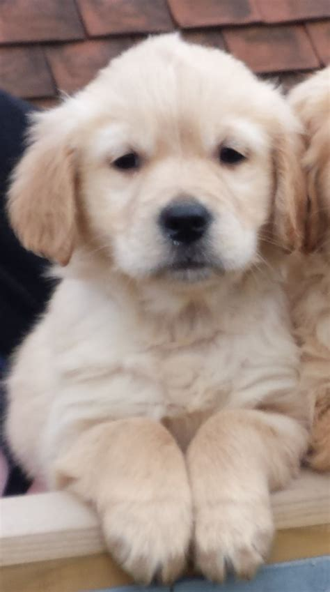 golden retriever puppies for sale in kent golden retriever puppies for sale last canterbury kent pets4homes