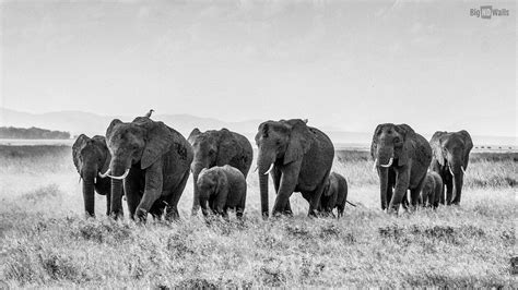 black and white elephant wallpaper black and white wallpaper of african bush elephants