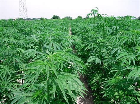 pazzano droga scoperte 750 piante cannabis indica due