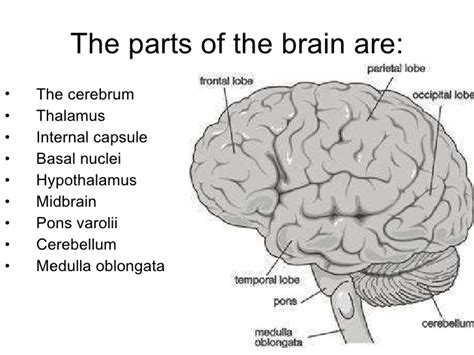 3 sections of the brain brain and its parts2