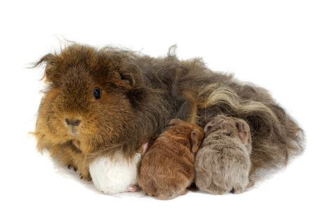 Most Popular Colors 2017 by Are Guinea Pigs Really Pigs Wonderopolis