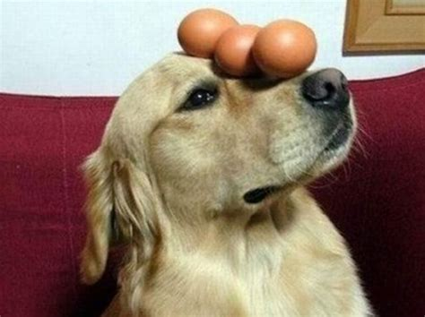 can dogs eat eggs wait can my eat that playbuzz