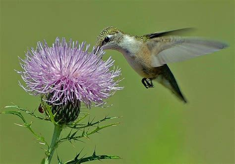 hummingbird on flower this is one of my favorite