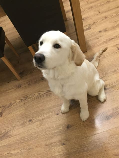 golden retriever looking for a home 6 month golden retriever looking for loving home batley west pets4homes