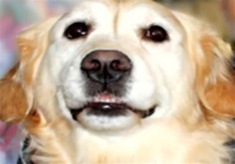 golden retriever saves owner puppies american kennel club