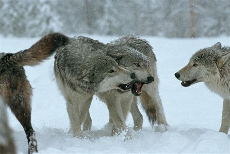 30 best stylized wolves images on the language of wolves living with wolves