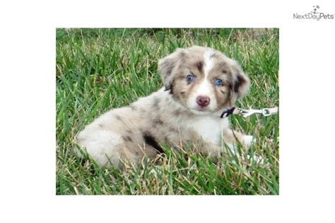 puppies for sale columbia mo miniature australian shepherd puppies for sale in missouri breeds picture