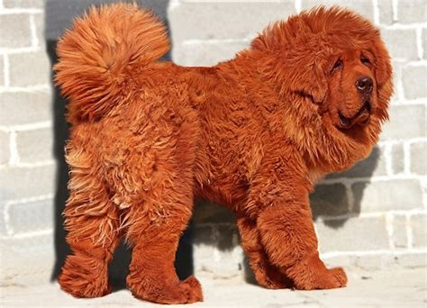 expensive dogs worlds most expensive tibetan mastiff ealuxe