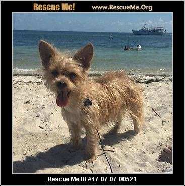united yorkie rescue florida florida yorkie rescue adoptions rescueme org