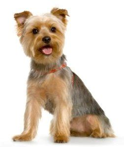 why yorkies are the best dogs best small breed page 2 bluemoon mcfc the leading manchester city forum