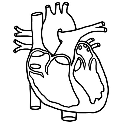 coloring pages of the heart s anatomy anatomical heart pictures cliparts co