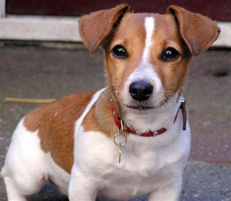 imagenes perros jack russell terrier jack russell terrier hunde wesen temperament erziehung