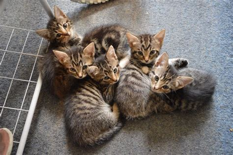 cats for sale 5 tabby kittens for sale in leyton gumtree