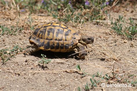 alimentazione tartaruga terrestre testuggine di hermann testudo hermanni astolinto 176