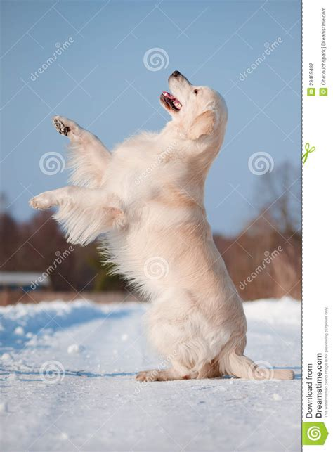 golden retriever tricks golden retriever tricks stock photography image 29469482