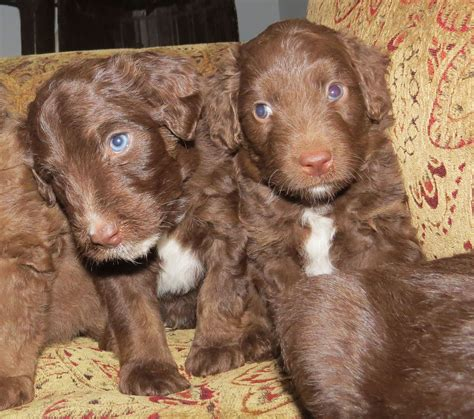 goldendoodle southern indiana chocolate labradoodle with green breeds picture