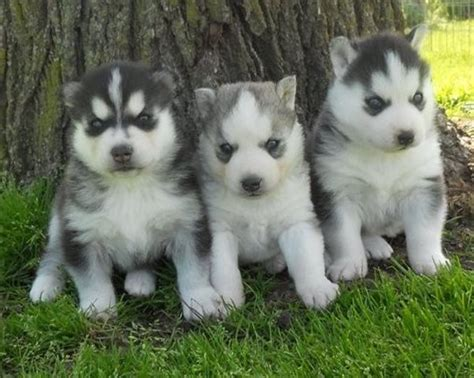alaskan husky puppies for sale 25 best ideas about husky puppies for sale on baby huskies for sale