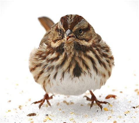 song sparrow head on by rwolfert via flickr bird
