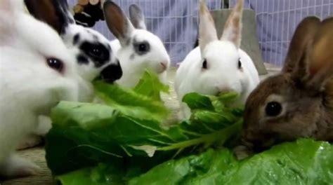 Makanan Kelinci Pakan Kelinci Pelet Kelinci Isi 7 Kg By Gosend menu makanan kelinci yang baik dan sehat