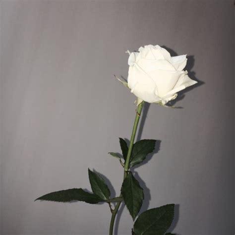 tumblr themes roses white rose tumblr