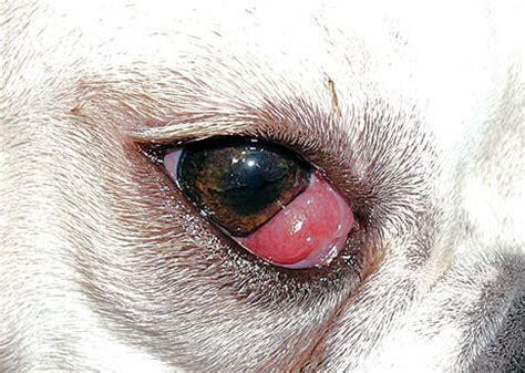 Mata Kucing Pink menyelidiki tipe penyakit mata pada anjing okdogi