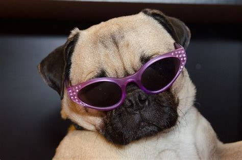 pugs eyewear pugs sunglasses fashion style pinteresting4