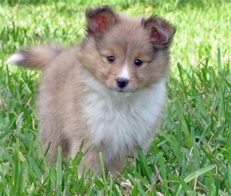 pomeranian sheltie puppies for sale sheltie mix