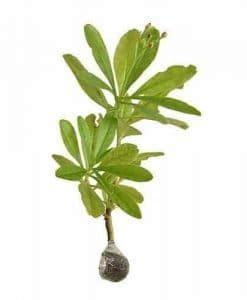 Jual Ginseng Jawa jual bibit tanaman benih tanaman kirim ke seluruh