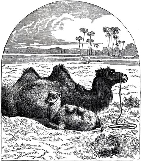 public domain camel image  graphics fairy
