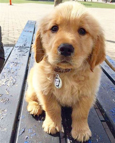 Puppy Golden Retriever 25 best ideas about golden retriever puppies on