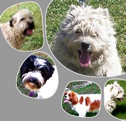 do havanese dogs bark a lot gt betty s statement