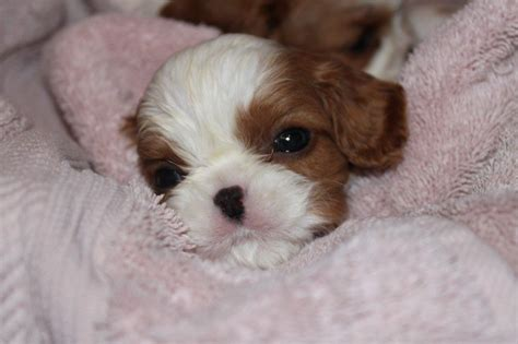 puppies atlanta cavalier king charles spaniels puppies photos photos for sale new york