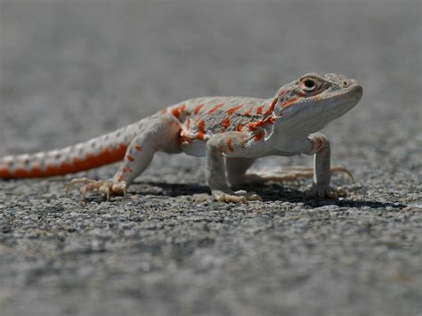 lizard images lizard wallpaper