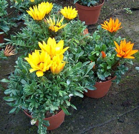 fiori simili alle margherite gazania x hybrida giardinaggio