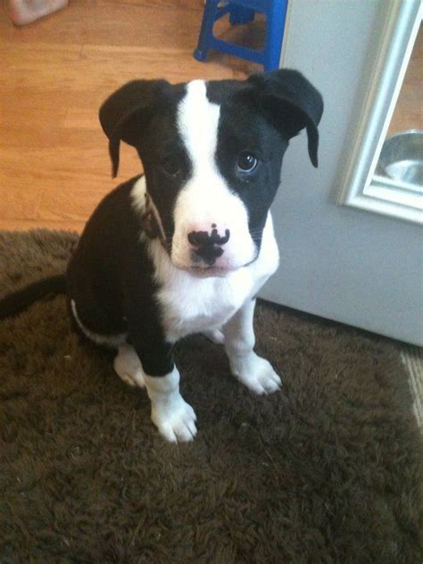 pitbull terrier mix puppies border collie american pit bull terrier mix i think i finally found what of