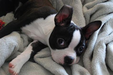boston terrier puppies wisconsin 17 best images about boston terrier puppies on dogs boston terrier