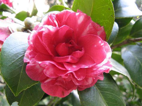 Camelia Pianta Da Esterno by Camellia