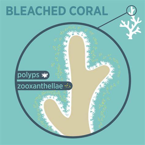 coral bleaching diagram national aquarium the secret harm in sunscreen