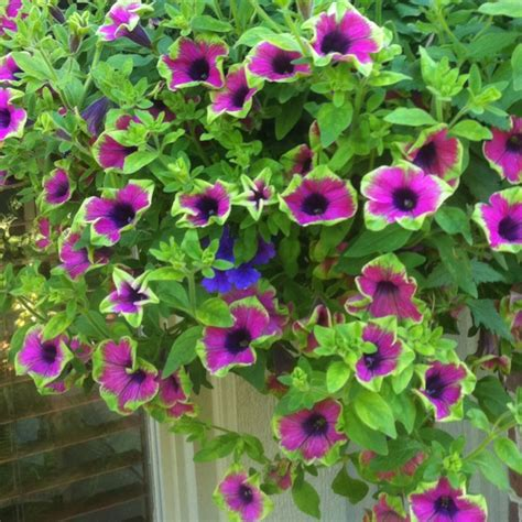 wave petunia hanging basket out by our pool pinterest