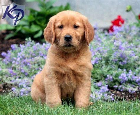pretty golden retriever pin by keystone puppies on golden retriever puppies