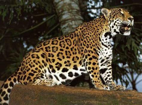 jaguars rainforest all animal pictures jaguar rainforest animals