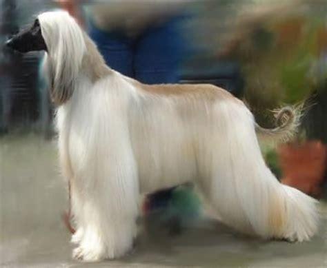 afghan breeds afghan hound breed puppies