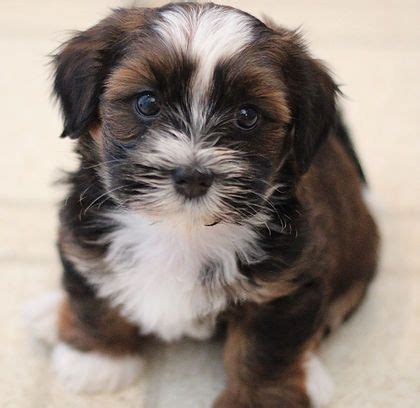 shih tzu calgary 25 best ideas about non shedding dogs on non shedding cats cutest small