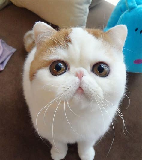Kucing Shorthair kucing shorthair paradisaeksakta