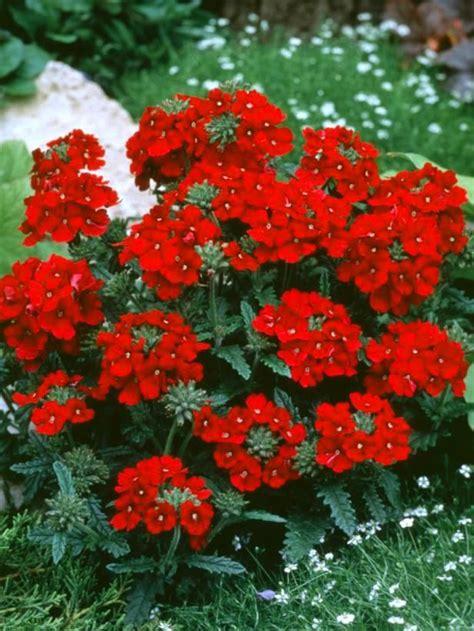 creeping dwarf gardenia 2 5 quart shrub groundcover 25 best ideas about red grass on pinterest japanese