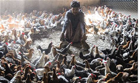backyard poultry farming in india bangladesh backyard poultry hit by bird flu india