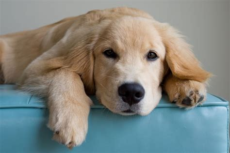 golden retriever spots treatment remedies for puppy spots