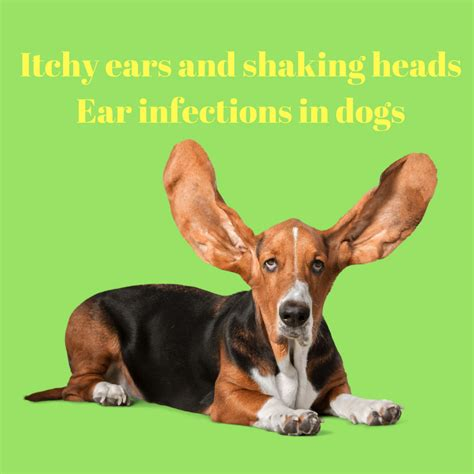 puppy scratching ears itchy ears and shaking heads ear infections in dogs the animal doctor