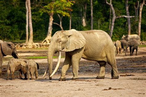 African Forest Elephant Picture And Images