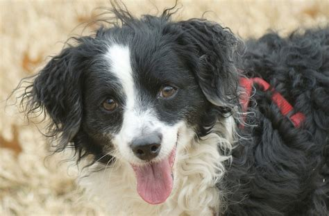 border collie and yorkie mix 21 poodle cross breeds you to see to believe